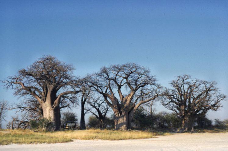 1024px-Botswana_Nxai_Pan_NP_Baynes_Baobabs