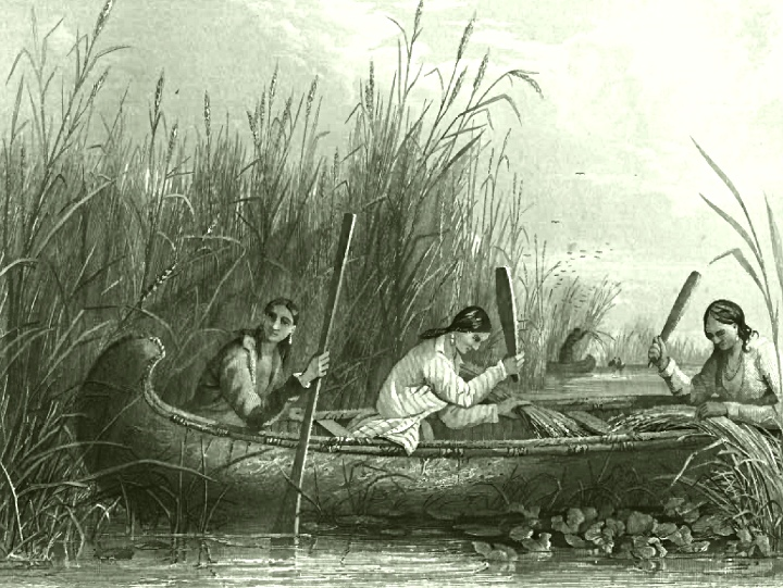 Wild_rice_harvesting_19th_century